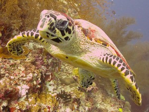 Meeru Turtle, Stellar Divers Lincoln
