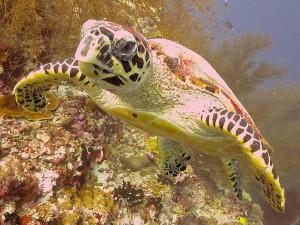 Meeru Turtle