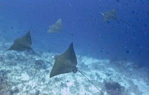 Eagle Rays In Formation