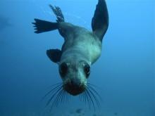Farnes Islands Seal