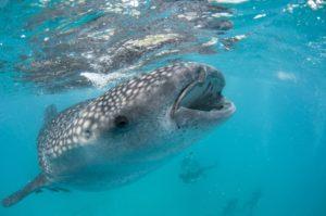 Moalboal Philippines Whaleshark