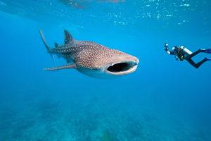 Whale-Shark-Maldives