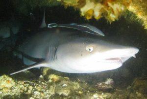Philippines White Tip - Stellar Divers - PADI